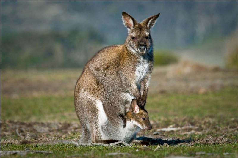 Dans quel endroit sont les bébés kangourous ?