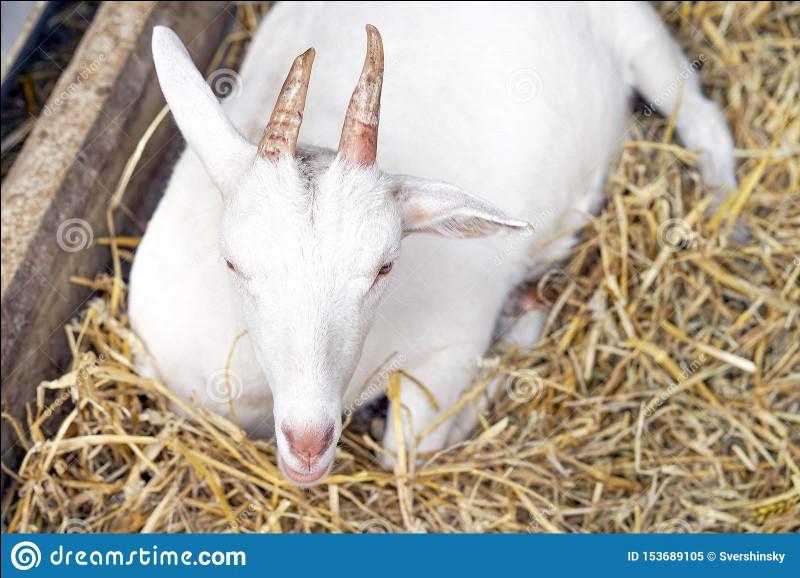 Comment appelle-t-on le cri de la chèvre ?