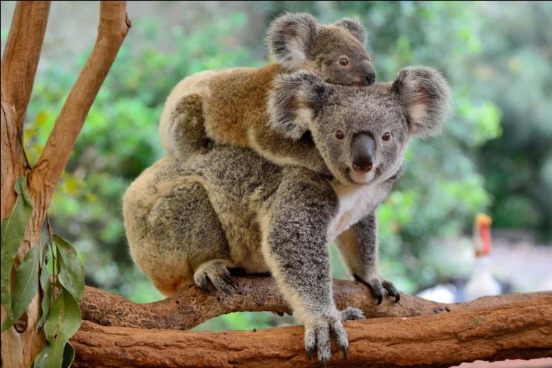 Le Koala est un marsupial.