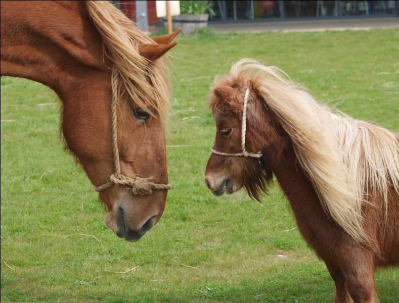Quelle est la taille maximale d'un poney ?