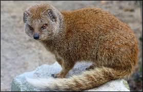 Quelle est la durée moyenne de vie d'une mangouste, petit animal d'Afrique ?