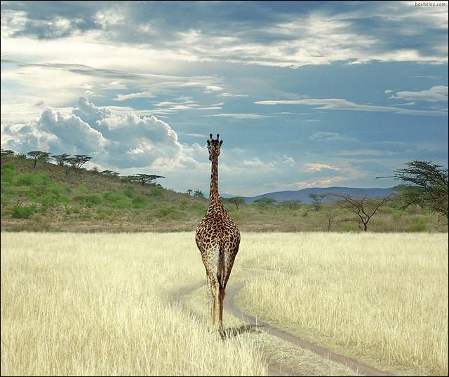 Parmi ces particularités, laquelle ne possède pas la girafe ?