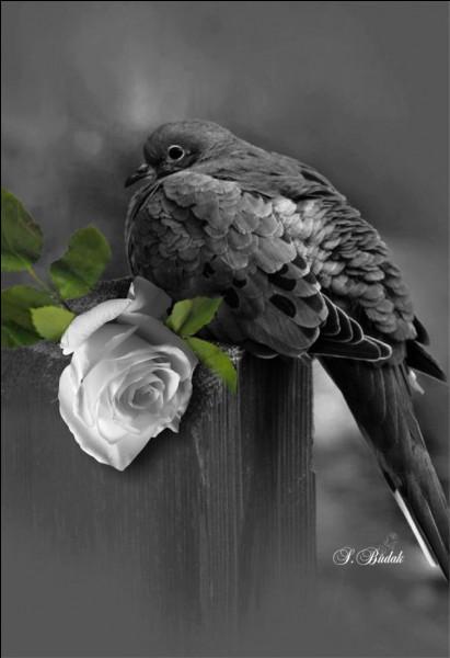 En vol, avec quel oiseau peut-on confondre le coucou ? (photo uniquement décorative)