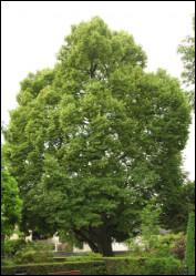 Quel est cet arbre dont les fleurs odorantes sont utilisées en infusions apaisantes et calmantes ?