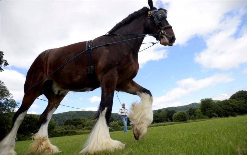 Le cheval le plus grand au monde, c'est le...