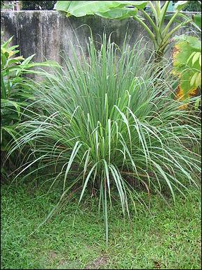 Le parfum de quelle plante, en photo, est connu pour éloigner les moustiques ?