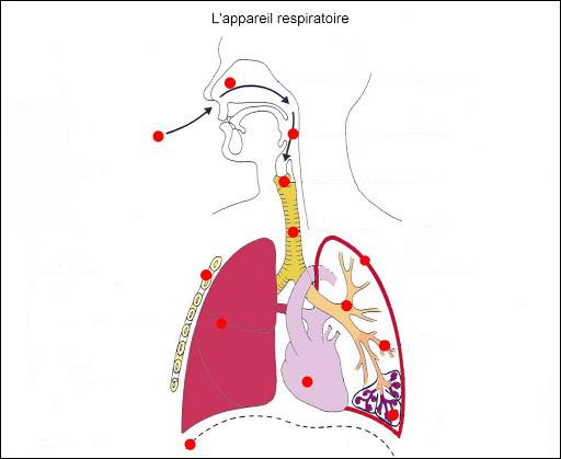 De quelle structure les fosses nasales sont-elles suivies pour acheminer l'air dans les voies respiratoires ?