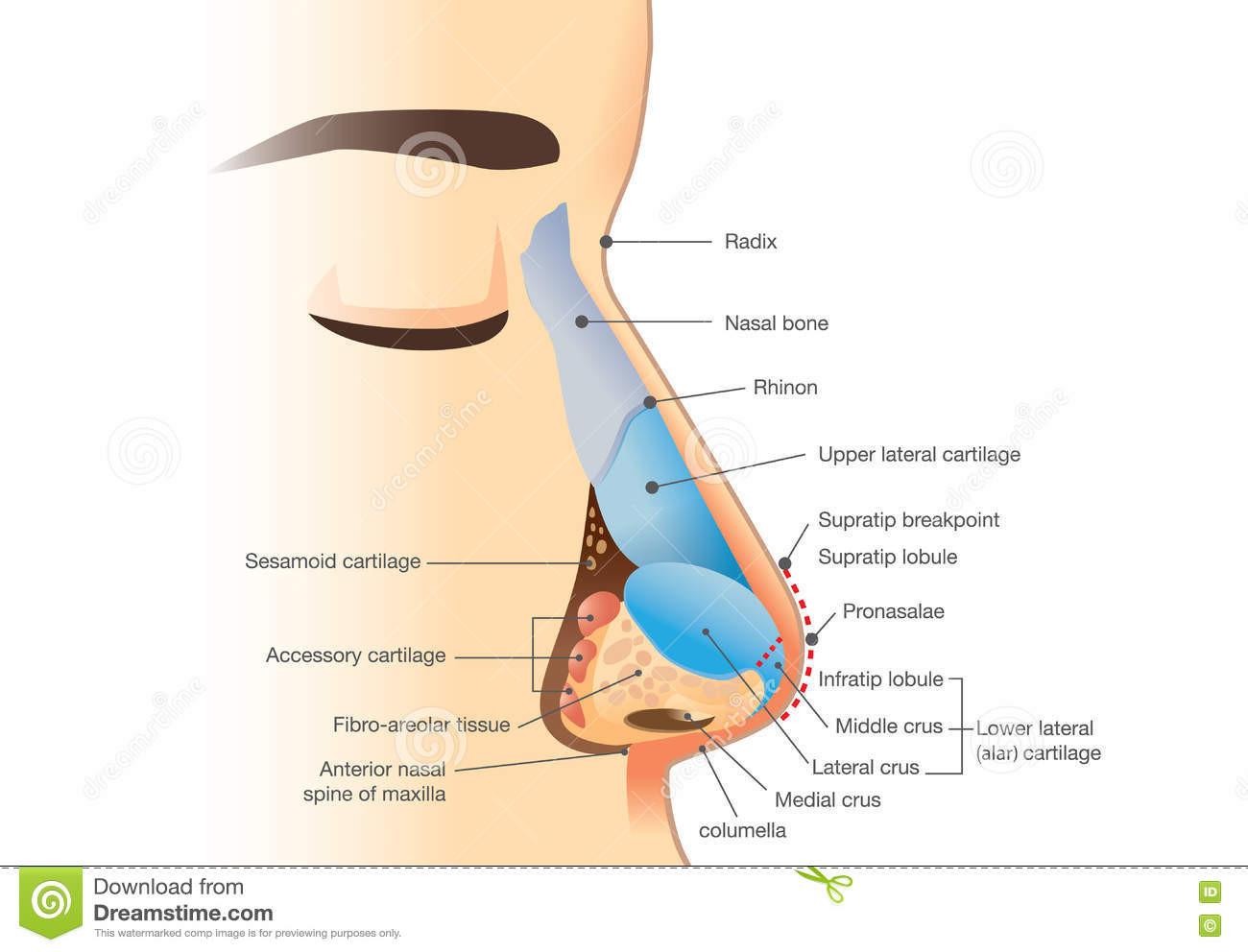 Anatomie et physiologie du nez