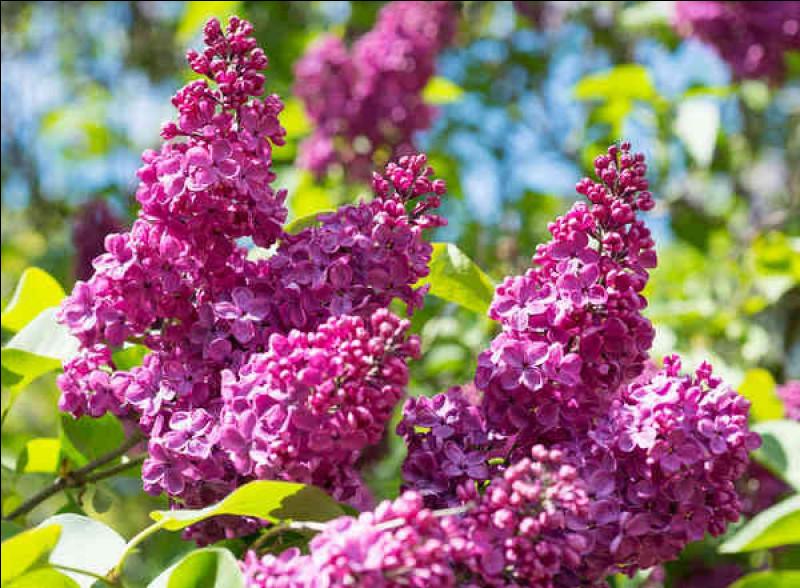 Comment s'appelle cette fleur au parfum élégant, qui évoque l'arrivée des beaux jours et apparaît dans de multiples parfums féminins ?