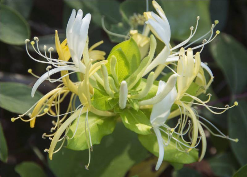Quel est le nom de cette plante aux petites fleurs qui éclosent à la fin de l'hiver et ont un parfum puissant, aux notes de jasmin ?