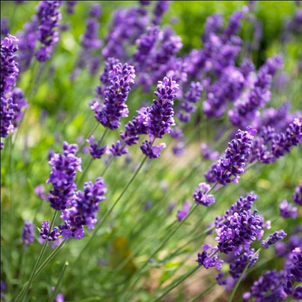 Comment s'appelle cette fleur le plus souvent mauve, originaire des régions méditerranéennes, au parfum frais, pur et aromatique ?