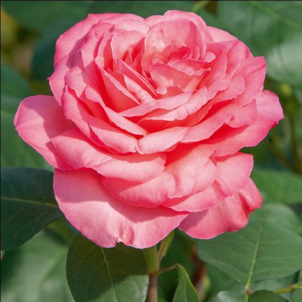 Comment s'appelle cette fleur, symbole de l'amour et qui a un parfum subtil ?