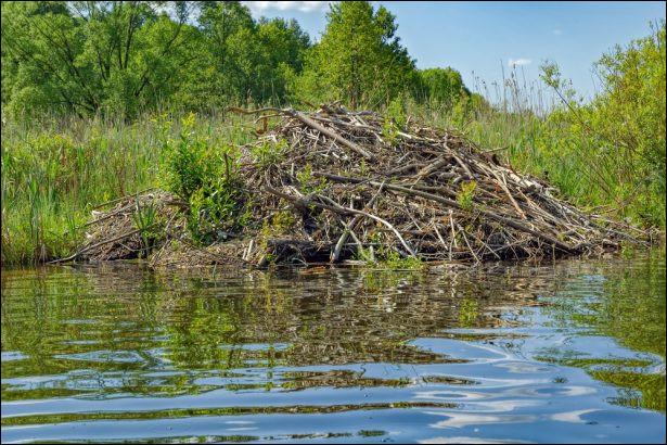 Je suis un animal qui vit près de l'eau, je fais ma maison sur les berges où sur l'eau. Qui suis-je ?