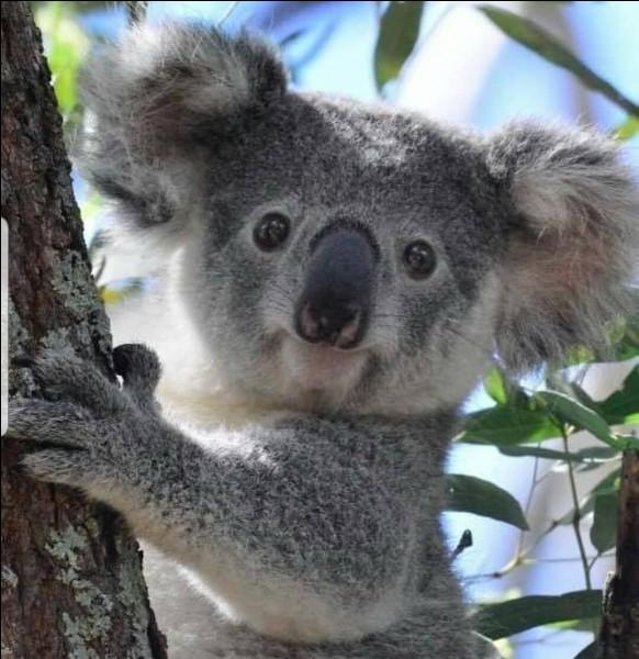 Courage, c'est la dernière question ! On va terminer sur du simple ! Où habitent les koalas ?
