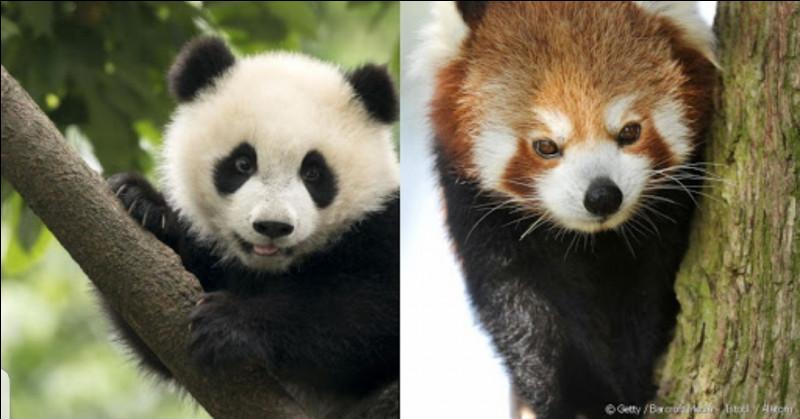 Plus difficile. Est-ce que le panda géant et le panda roux font partie de la même famille ?