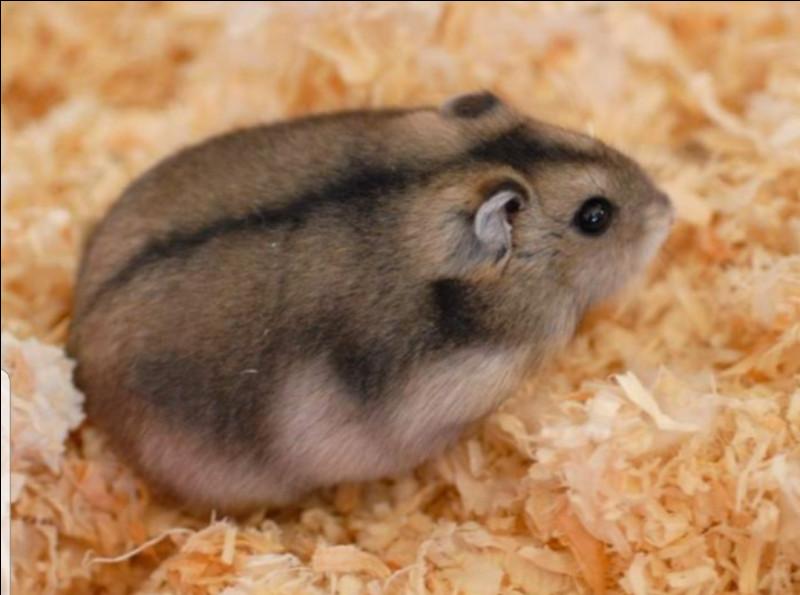 Quelle est la taille maximale d'un hamster nain ?
