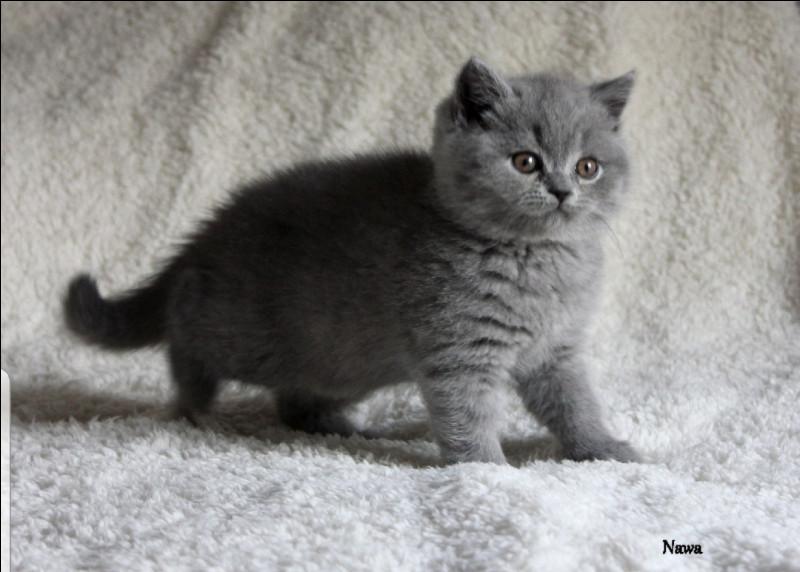 Plus que deux questions ! Quelle est cette race de chat ?
