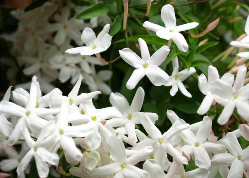 Bienvenue ! Tu entres dans une aventure comme qui dirait... parfumée ! Le but de ce quiz est de te faire découvrir les senteurs de certaines fleurs célèbres ! Pour commencer, trouve mon nom commun : je suis une espèce de jasmin, plante très utilisée dans la parfumerie. Mon nom latin est Jasminum grandiflorum, et ma senteur est unique, douce, florale, fruitée et poudrée. Sauriez-vous me retrouver ?