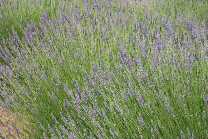 Je suis une fleur violette, qui possède une odeur puissante et très camphrée. Mon nom latin est Lavandula latifolia. On peut fabriquer de l'huile essentielle à partir de ma fleur. Je suis...
