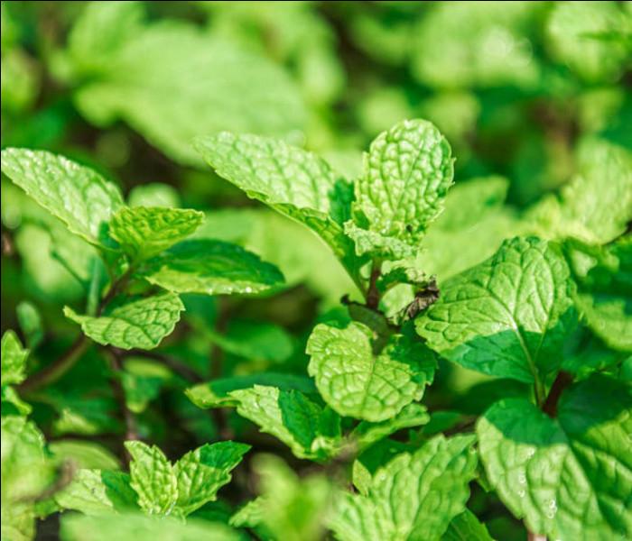 Je suis une plante qui apporte de la fraîcheur. Souvent utilisée dans la cuisine, ou dans des thés glacés, ma famille est celle des Liamacées. Je peux être verte ou poivrée. Comme pour la précédente, ma senteur est camphrée, puissante et fraîche. Mon nom est :