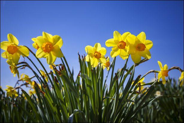Je suis une fleur jaune qui possède une odeur très gaie, pétillante, voire même apéritive. Mon nom commun est :