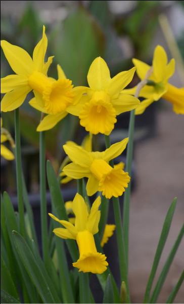 Je suis une fleur jaune. Ma senteur est légère, fleurie et fraîche. Mon nom rappelle un personnage de la mythologie grecque. Qui suis-je ?