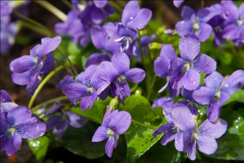 Bien ! Vous êtes à la moitié ! Maintenant, le principe change : je vais vous demander de trouver l'odeur de la plante.Je suis la violette, ma senteur est sucrée. Je possède une odeur...