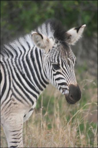 Vous apercevez un bébé, il fait tout juste la taille d'un poney ! Votre guide explique que les zèbres ont une excellente vue, qu'ils occupent un rôle de protection envers les autres animaux. Il dit qu'ils sont assez répandus, formant une population d'environ :