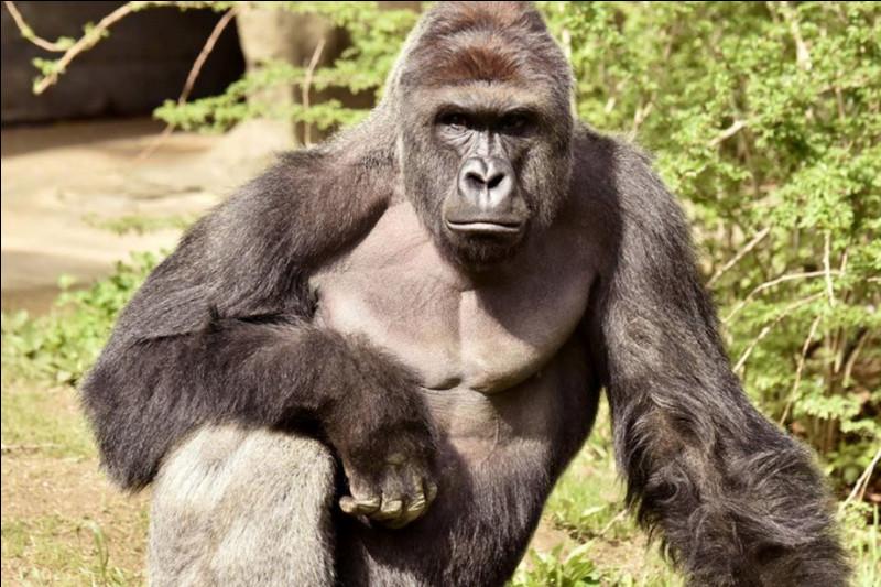 Presque une heure s'est écoulée sans voir le moindre animal. Au moment où vous commencez à vous ennuyer ferme, un énorme singe noir apparaît. Il s'agit bien évidemment du :