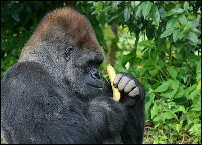 Votre guide tombe presque de la voiture lorsqu'il s'exclame : Nous l'avons enfin trouvé ! Ce grand singe, contrairement aux deux sortes de félins que nous avions croisées jusqu'à maintenant, est très répandu dans le monde : on le trouve en Angola, au Gabon, en Guinée équatoriale, en République du Congo, au Cameroun et en République centrafricaine ! Il est en danger d'extinction, il en reste encore :