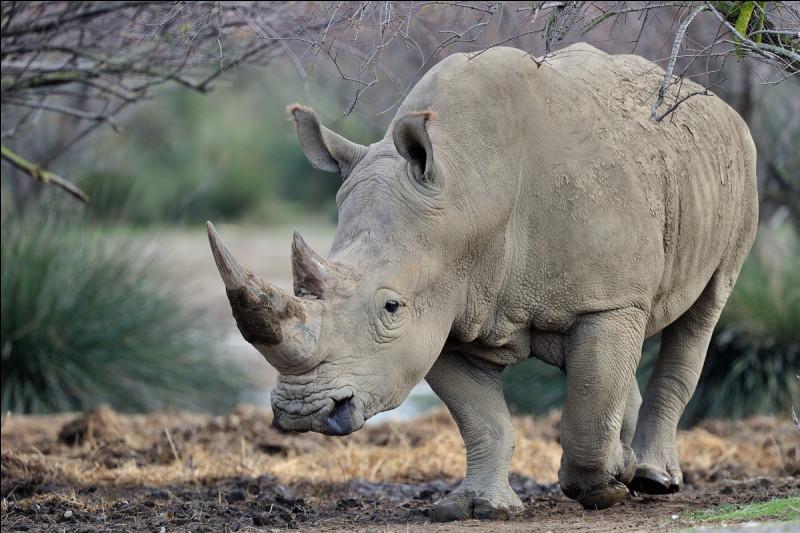 Très vite après, le paysage changea un peu et vous en admirez la beauté jusqu'à ce que votre attention soit attirée par un énorme rhinocéros blanc qui se dirige vers un ruisseau. Le guide vous apprend : Les rhinocéros blancs sont souvent solitaires si ce n'est qu'ils ont sur le dos leur compagnon éternel, le pique-bœuf !  Il vous raconte que les rhinocéros :