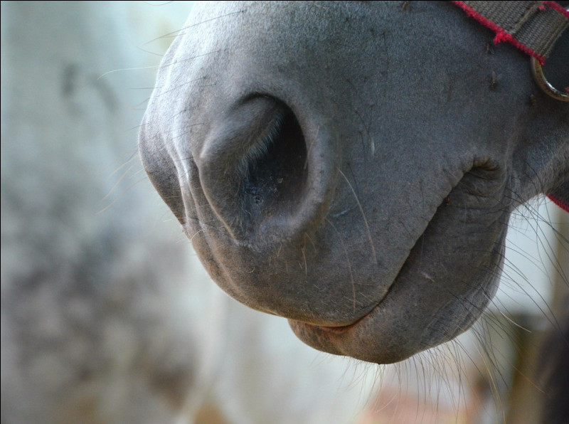 """D'abord, dit-on véritablement """"nez"""" quand on parle de cette partie du coprs du cheval ?"""