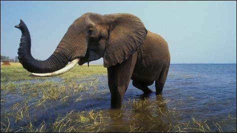 De combien de muscles la trompe de l'éléphant est-elle pourvue ?