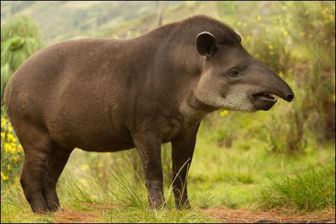 Comment le nez du tapir est-il appelé ?