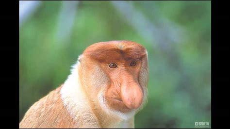 Comment appelle-t-on cet animal au nez pendant ?