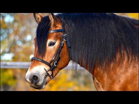Quand le cheval met ses oreilles en arrière, que cela veut-il dire ?