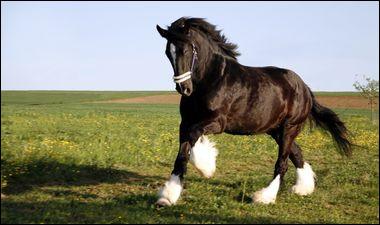Quelle est la race d'un cheval très grand et très gros ?