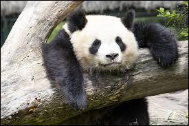 Que préfère le panda ?