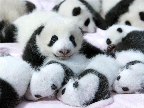 """''Considéré trésor national en Chine : """"Cette créature pacifique s'attire l'affection du monde entier avec son pelage noir et blanc bien distinctif"""". (https://wwf.ca/fr)Trouvez le nom de ce membre de la famille des ours, qui se nourrit de bambous et qui est une espèce dont le statut de préservation est précaire."""