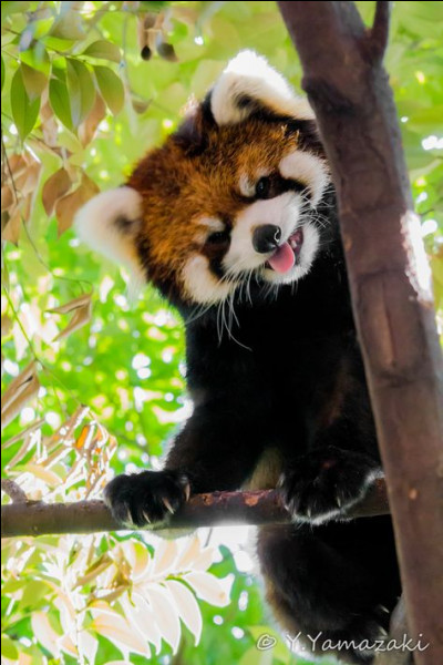 C'est le plus gros mammifère arboricole de son pays. Entre vous et moi, s'il n'est pas en train de rire, il en fait une sacrée belle imitation.Nommez ce kangourou arboricole que la perte de son habitat et la chasse ont malheureusement poussé au bord de l'extinction ?