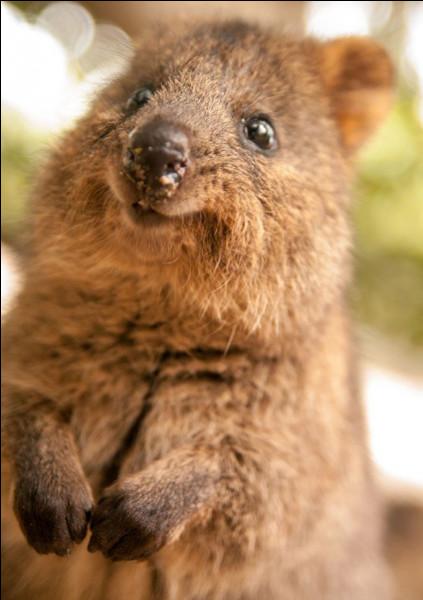 Il s'agit d'un petit marsupial (2 à 5 kg) qui possède un sourire naturel : il est de la famille des macropodidés (les plus connus étant les kangourous) avec la fourrure brun-gris et il vit exclusivement en Australie.Quel est le nom de cet animal qui affiche un petit rictus permanent ?