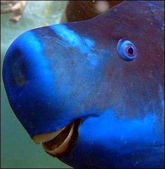 Ce poisson doit son nom à la forme de sa bouche. Pour se nourrir, il utilise leur « bec » pour gratter les algues et les polypes des coraux et des roches.Trouvez le nom de celui que vous pouvez trouver depuis la Floride, les Bahamas et les Caraïbes.
