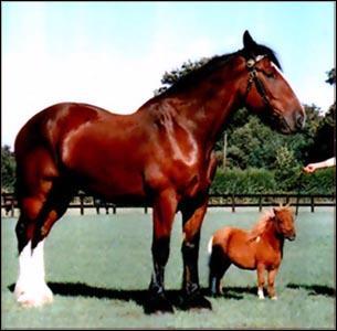 Le plus petit des poneys est le :