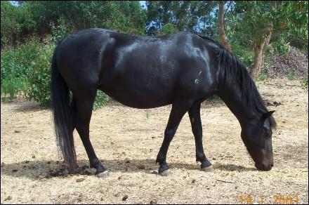 Le poney australien mesure entre :