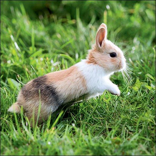 Le lapin se déplace :