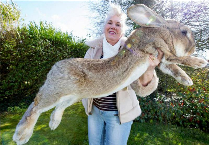 Combien pèse le plus gros lapin du monde ?