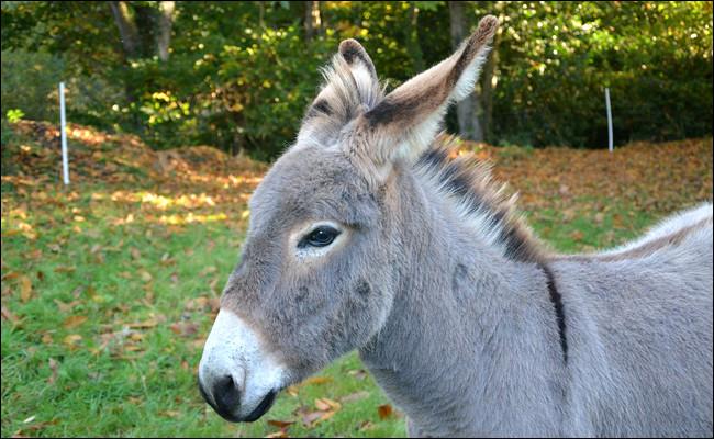 L'âne fait partie de la famille du cheval.