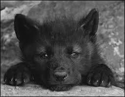 Comment la femelle du loup se nomme-t-elle ?