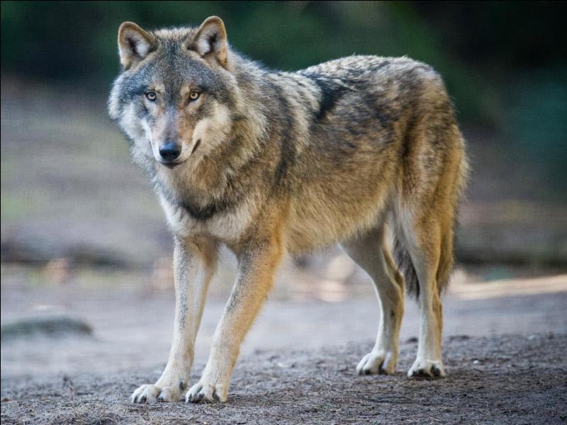 Quelle est (en moyenne) la longévité du loup ?
