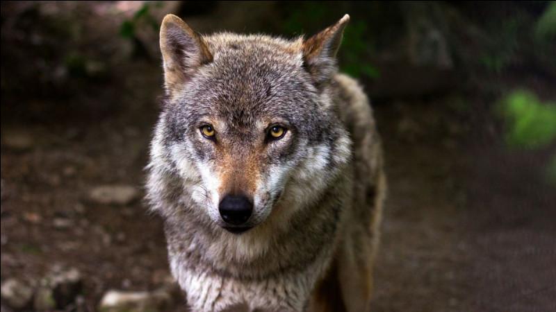 Un loup ...